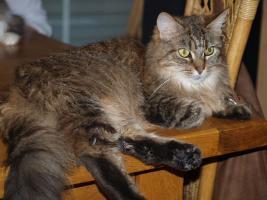 Foto 7 Tapvolle Maine Coon Kitten