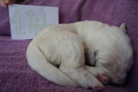 Foto 3 Tatra Sch�ferhund Welpen zu verkaufen
