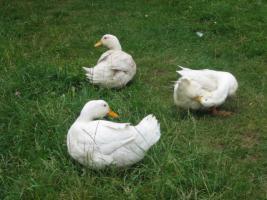 Foto 2 Tausche und Verkaufe Freilandenten ca. 2,5- 5,0 kg Lebend oder Bratfertig.