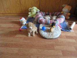 Foto 4 Teacuppudel welpen
