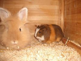 Teddyl�wenkopf & Meerschweinchen