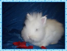Teddyzwerg  Weiß mit blauen Augen