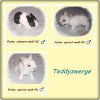 Teddyzwerge und Teddywidder können reserviert werden