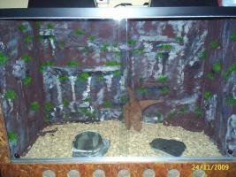 Terrarium mit Kornnatter