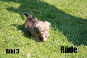 Terrier - Mix Welpen