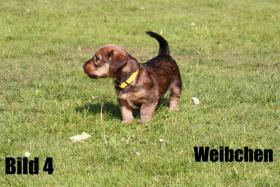 Foto 4 Terrier - Mix Welpen