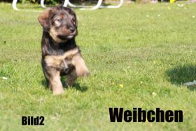 Foto 5 Terrier - Mix Welpen