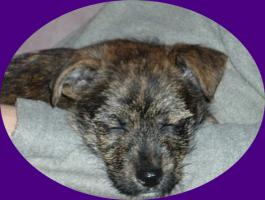 Foto 2 Terriermischlingswelpe Jacky, kurzhaar