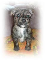 Foto 3 Terriermischlingswelpe Jacky, kurzhaar