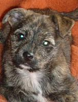 Foto 5 Terriermischlingswelpe Jacky, kurzhaar
