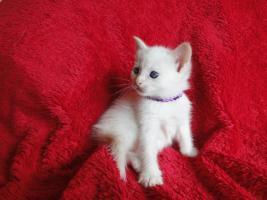 Thai Siam Kitten