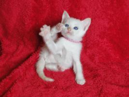 Foto 2 Thai Siam Kitten
