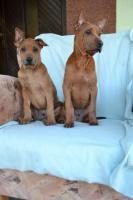 Foto 3 Thai ridgeback dog – letzte zwei Welpen