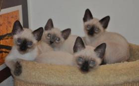 Thaikatzen in seal und bluepoint zu verkaufen