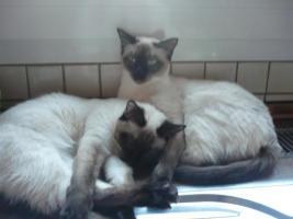 Thaikatzenmädels