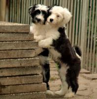 Tibet Terrier Hündin mit VDH-Ahnentafel
