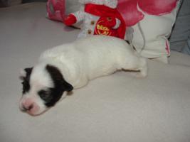 Foto 4 Tibet Terrier Welpen