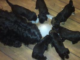 Foto 3 Tibet Terrier Welpen