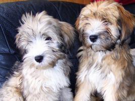 Foto 2 Tibet Terrier Welpen