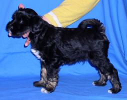Foto 2 Tibet Terrier Welpen (m. Ahnentafel)