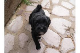 Tibet Terrier Welpen suchen neues zu Hause