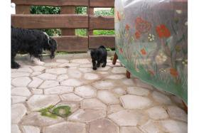 Foto 2 Tibet Terrier Welpen suchen neues zu Hause