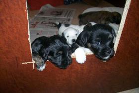 Tibet-Terrier Welpen zu verkaufen