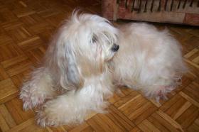 Foto 2 Tibet-Terrier Welpen zu verkaufen