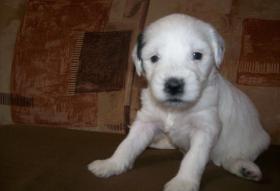 Foto 3 Tibet-Terrier Welpen zu verkaufen