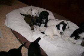 Foto 4 Tibet-Terrier Welpen zu verkaufen