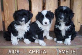 Tibet Terrier Welpen zu verkaufen