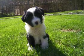 Foto 2 Tibet Terrier Welpen zu verkaufen