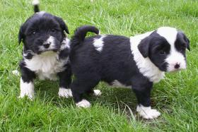 Foto 3 Tibet Terrier Welpen zu verkaufen