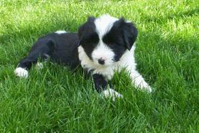 Foto 5 Tibet Terrier Welpen zu verkaufen