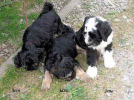 Foto 2 Tibet Terrier Welpen wollen die Welt erkunden und suchen Familie mit viel Herz.