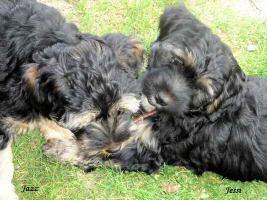Foto 4 Tibet Terrier Welpen wollen die Welt erkunden und suchen Familie mit viel Herz.