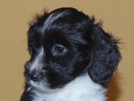 Tibet Terrier - Welpen - Frei nur noch 2 Hündinnen