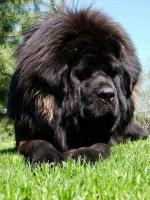 Tibetan Mastiff Welpen zu verkaufen