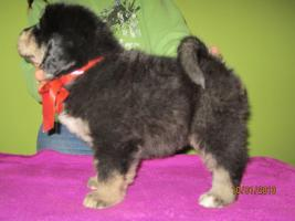 Foto 3 Tibetan Mastiff Welpen zu verkaufen