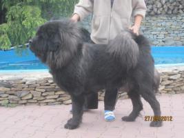 Foto 5 Tibetan Mastiff Welpen zu verkaufen
