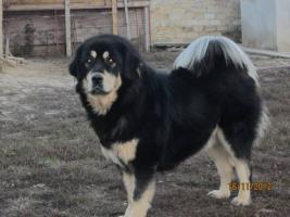 Foto 6 Tibetan Mastiff Welpen zu verkaufen