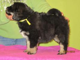 Foto 7 Tibetan Mastiff Welpen zu verkaufen