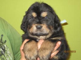 Foto 8 Tibetan Mastiff Welpen zu verkaufen