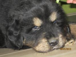 Foto 9 Tibetan Mastiff Welpen zu verkaufen