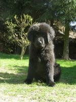 Foto 2 Tibetan Mastiff, Do-Khyi Welpen FCI