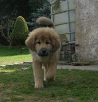 Foto 3 Tibetan Mastiff, Do-Khyi Welpen FCI