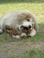 Foto 4 Tibetan Mastiff, Do-Khyi Welpen FCI