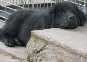 Foto 5 Tibetan Mastiff, Do-Khyi Welpen FCI