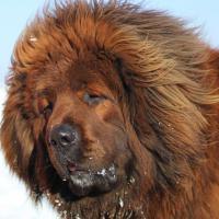 Tibetan mastiff - red, black