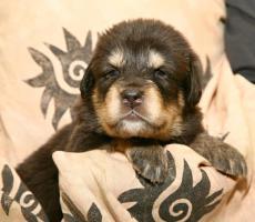 Tibetdogge – Welpen